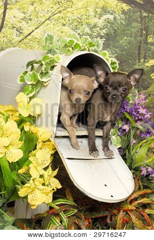 Chihuahua Puppies in a Mailbox