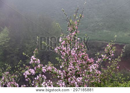 Fruit Tree Blossoms. Beginning Of Spring. Apple Tree Blossoms. Raceme Of Apple Tree. Blossom Bloomin