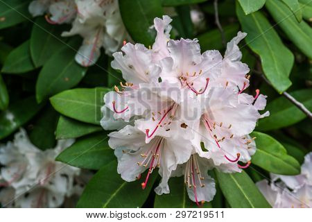 A Macro Shot Of Pink Rhododendron Blossoms.