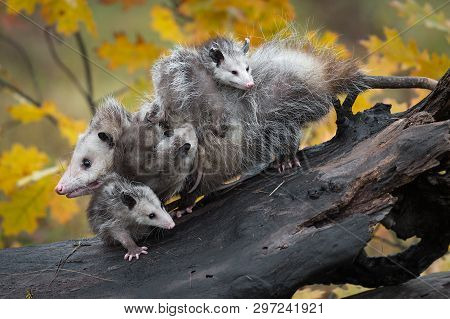 Opossum (Didelphimorphia) Piled High with Joeys Autumn - captive animals poster