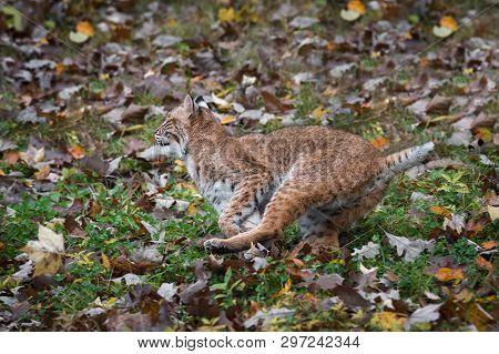 Bobcat (lynx Rufus) Runs Left Autumn - Captive Animal