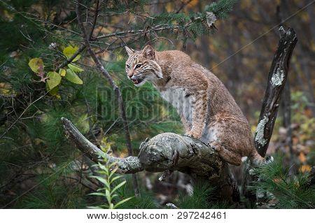 Bobcat (lynx Rufus) Sits On Branch Autumn - Captive Animal