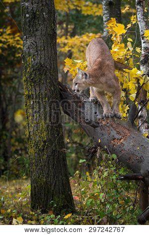 Cougar (puma Concolor) Turns To Jump Off Tree Autumn - Captive Animal
