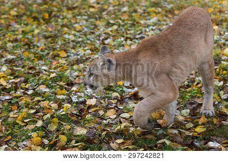 Cougar (puma Concolor) Steps Left Autumn - Captive Animal