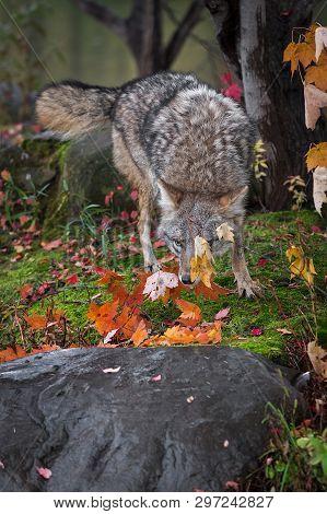 Coyote (canis Latrans) Behind Leaf Autumn - Captive Animal