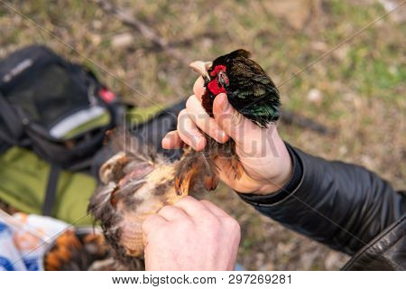 Fowl Preparing, Hunting Theme. Hands Of Man Pull Out A Feathers Of Colorful Pheasant Fowl. Plucking
