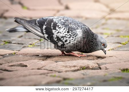 An image of a gray dove on paving stone