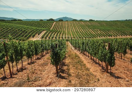 View Of Many Parallel Vines Stretches As Far As The Eye Could See Going Up The Hill, In A Vineyard N