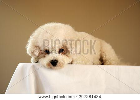 Bichon Frise. Purebred Bichon Frise Dog. Small White dog. 10 lb. female bichon frise dog. Pet Portraits.