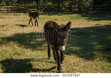 Couple Of Nice Donkeys Trotting Through The Lawn Of The Corral, On A Sunny Day In A Farmstead Near E