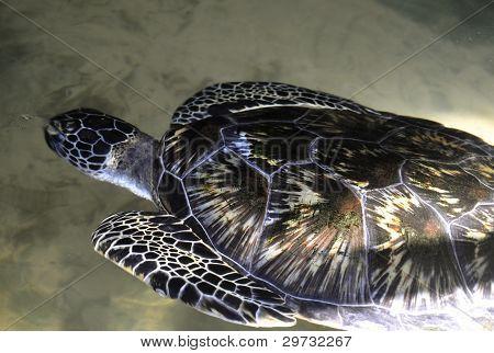 A Green Sea Turtle in Sri Lanka