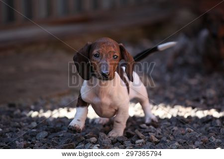Free Dachshund Puppies Near Me