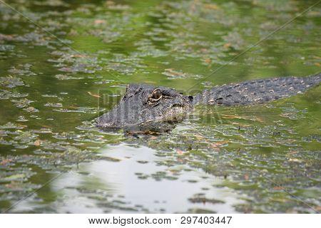 Alligator In A Swampy Bayou Of Southern Louisiana.