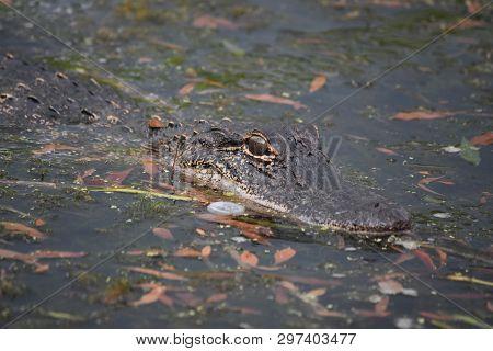 Alligator Amongst Leaves In The Bayou Of Louisiana.