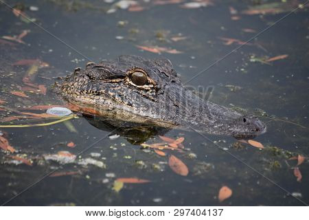 Up Close Look Into The Eye Of An Alligator In The Swamp.