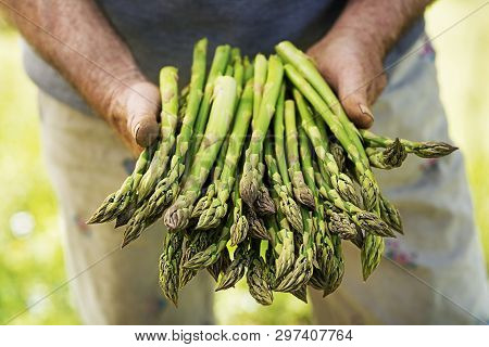 Asparagus. Fresh Asparagus. Green Asparagus. Asparagus In Hands Of A Farmer