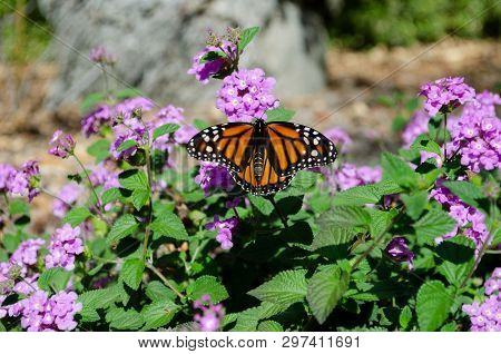 Close Up Of Monarch Butterfly Resting On Purple Flowers; Luscious Grape Lantana Camara.  California