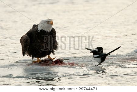 Eating  Bald Eagle On Snow With Magpie.