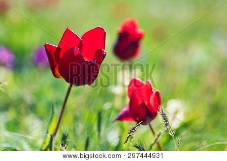 Close Up Red Schrencks Tulip Or Tulipa Tulipa Schrenkii In The Steppe