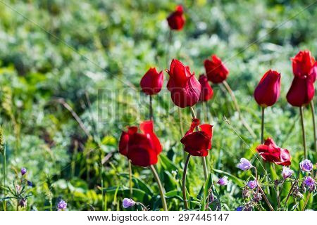 Close Up Red Schrencks Tulips Or Tulipa Tulipa Schrenkii In The Steppe