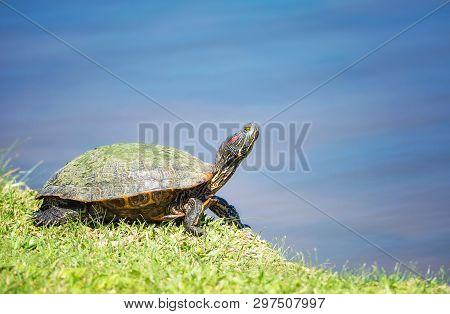 Red-eared Slider (trachemys Scripta Elegans) Basking In The Sun In Springtime. Turtle Portrait In Na