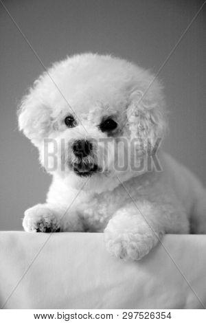 Bichon Frise. Purebred Bichon Frise Dog. Small White dog. 10 lb. female bichon frise dog. Pet Portraits. Black and White.
