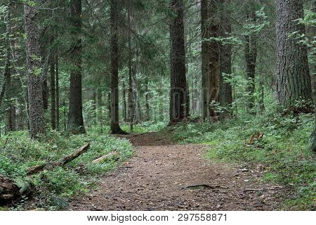 Beautiful green mystique coniferous forest. Northern forest. Walk through the forest. Journey through the forest. Tourism in the North of the country. Forest reserve. Pine forest. Spruce forest. Mixed forest. Path in the forest