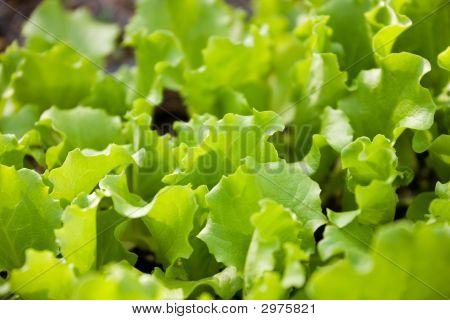 Leaf Lettuce Baby Plants