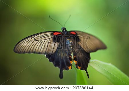Giant Tropical Butterfly Papilio Memnon On Green Leaf.