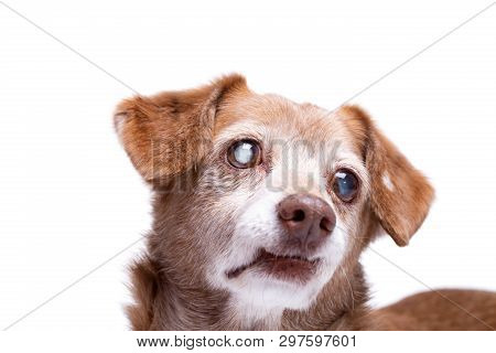 Senior Dog With Cataract In His Eyes Isolated On A White Background. Dog At Studio, Pet Insurance An