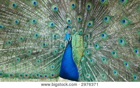 photographed peacock at local park area in florida. poster