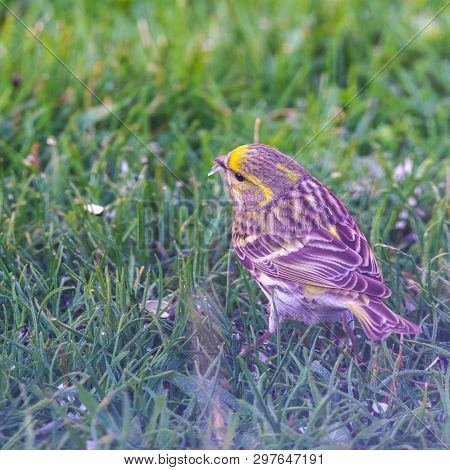 Male Bunting Bird On Lawn With Black Seed In Beak