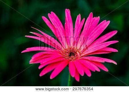Beautiful Pink Hybrid Gerbera Or Barberton Daisy Flowers.