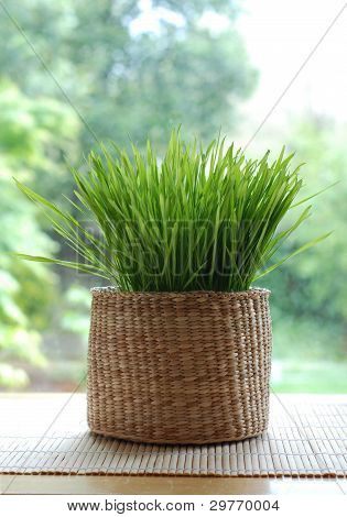Wheatgrass growing in a basket