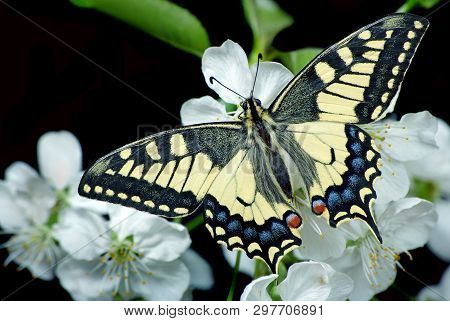 Beautiful Butterfly Sitting On A Flower Isolated On Black. Butterfly And Flowering Branch Of Cherry.