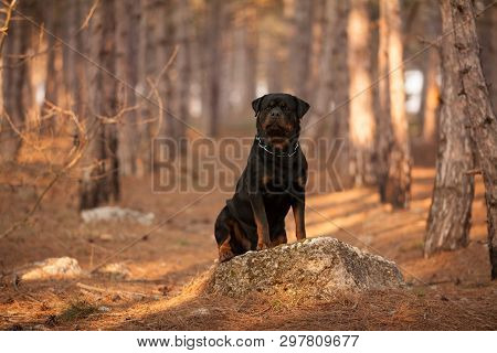 Dog Breed Rottweiler On A Walk In The Woods Beautiful Portrait