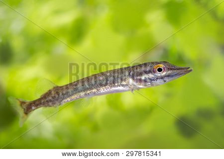 Freshwater baby Northern pike fish know as Esox Lucius, snoek swimming