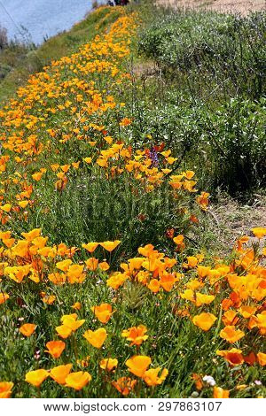 Golden Yellow California Poppies Grown Profusely Along A Nature Trail