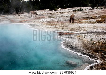 Elks Seen At Hot Thermal Spring Black Pool In Yellowstone National Park, West Thumb Geyser Basin Are