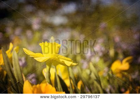 Spring daffodil in a colorful field of flowers