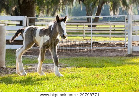 Gypsy Vanner horse equine baby poster