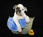 Cute Bulldog puppy sitting in a bath tub on a black background. poster