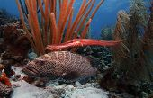 Tiger grouper & trumpet fish feeding together on reef poster