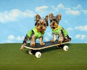 Two yorkshire Terrier puppies play on a skateboard together poster