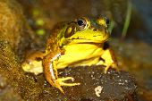 Green Frog (Rana clamitans) at Deer Run Forest Preserve of Illinois. poster