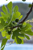 Unripe green figs fruits riping on fig tree close up poster