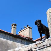 black dog on the roof on a sunny day poster
