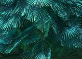 Mallorca endemic fan palm Chamaerops humilis lush leaves in sunshine abstract teale color. poster