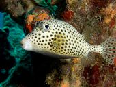A Spotted Trunkfish in the Caribbean Sea off the Island of Bonaire Netherlands Antilles poster