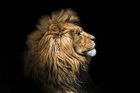 Portrait Lion On The Black. Detail Face Lion. Hight Quality Portrait Lion. Portrait From Animal